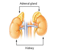 adrenal-gland